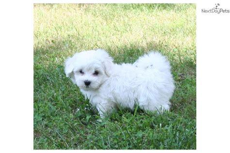 coton de tulear puppies price coton de tulear puppy for sale near st louis missouri 8b8aba29 69b1