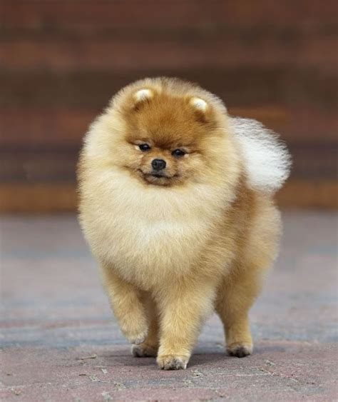 pomeranian grooming pictures best 25 pomeranian haircut ideas on pomeranian hairstyles pomeranian