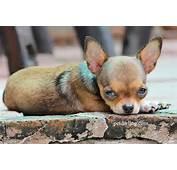 Perros Chihuahua  Raza De Petdarlingcom