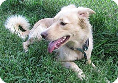 golden retriever rescue new york middletown ny golden retriever mix meet pebbles a for adoption
