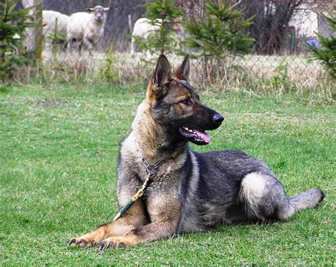 german shepherd guard german shepherd personal protection guard dogs for sale breeds picture