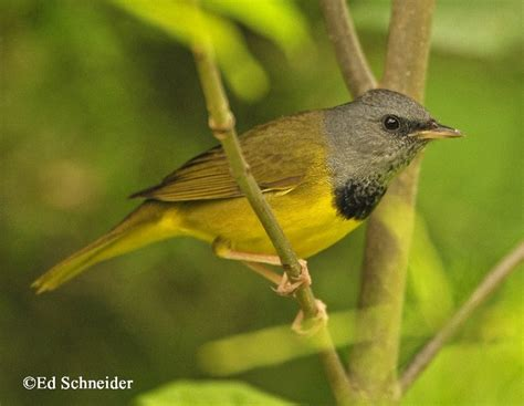 tennessee watchable wildlife mourning warbler habitat