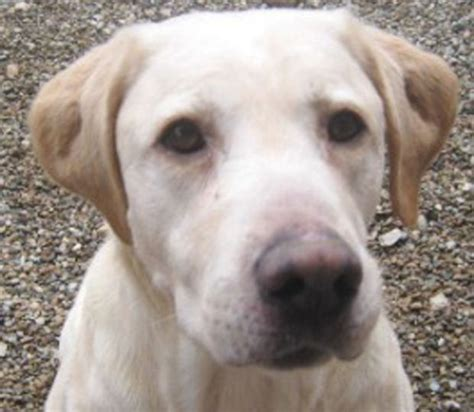 yellow lab mix puppies yellow lab pitbull mix puppies pictures to pin on pinsdaddy