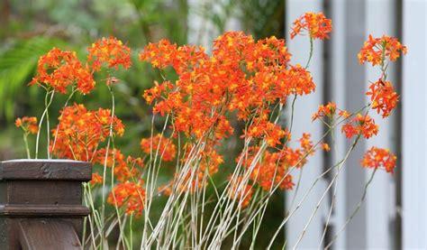 aprils plant   month reed stemmed epidendrum sun