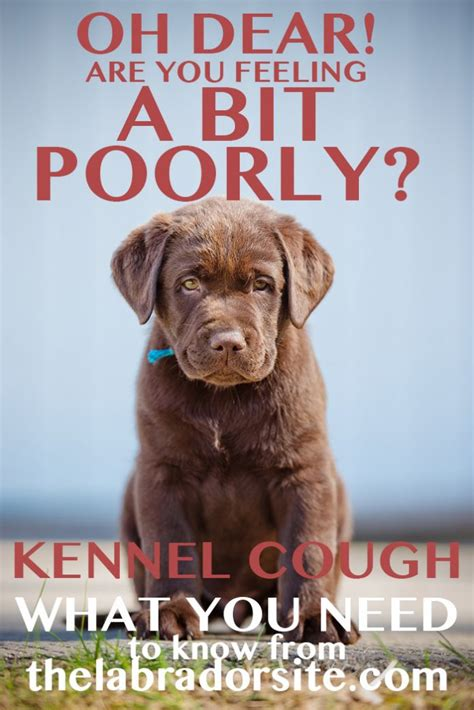kennel cough symptoms in dogs kennel cough in labradors the labrador site