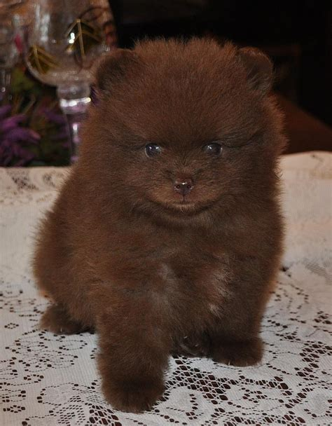 pomeranian chocolate pomeranian chocolate photograph by evan spicer