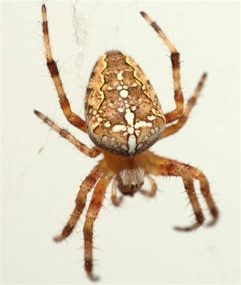 Garden Spider Totem 17 Best Images About Spiders And Scorpians 2 On