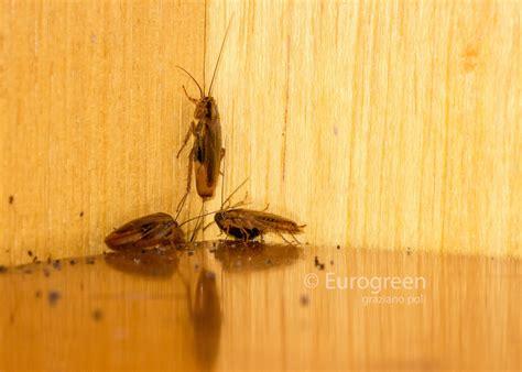 come eliminare scarafaggi in cucina eliminare gli scarafaggi in casa leggi le 7 risposte