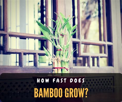 how fast does bamboo grow how do you know