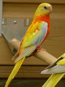 birds for sale san diego male red rump parakeet gentics of tarquosine naming factore feathers d airy