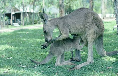 kangaroo baby swing kangaroo mother baby