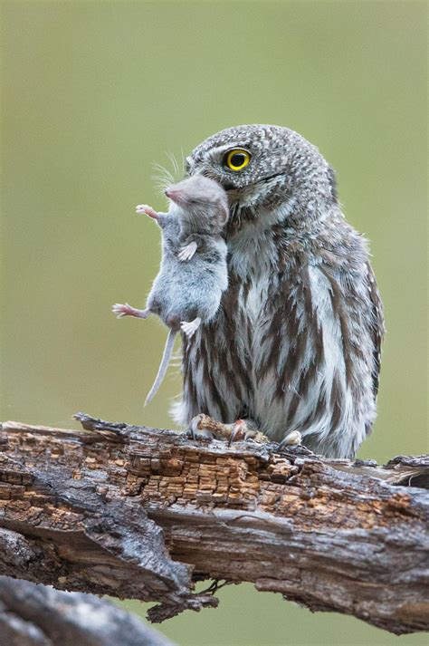 why you shouldn t feed or bait owls audubon