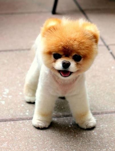 pomeranian puppies teddy cut pomeranian haircut styles petcarepricing