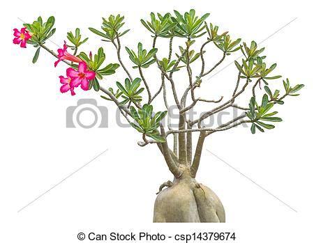 giglio rosa fiore immagini di rosa impala fiore giglio poco rosa