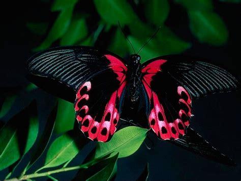 imagenes de mariposas negras grandes mariposa negra y rosa im 225 genes y fotos