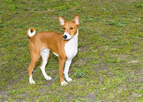 non barking do basenji dogs shed 28 images dogs that dont shed these pups don t shed or bark