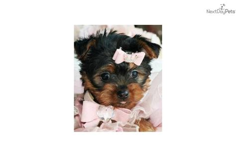 yorkie puppies for sale ky teacup yorkie puppies for sale in paducah ky and mini cooper parts