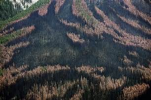 Beetle is concerning but not as much as the mountain pine beetle s