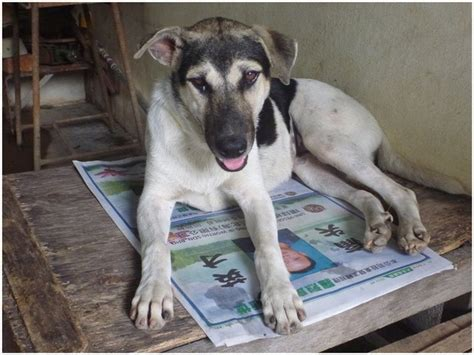 spayed cost spaying sponsorship for 4 dogs in perlis lim tiang seouk nujtiya chareansouk