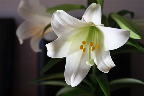 easter lily the season s brightest bloom garden variety