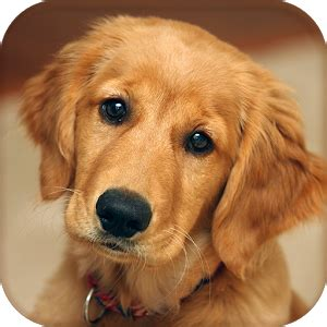 dog wallpapers pictures cute dogs on the app store cute dog wallpaper android apps on google play