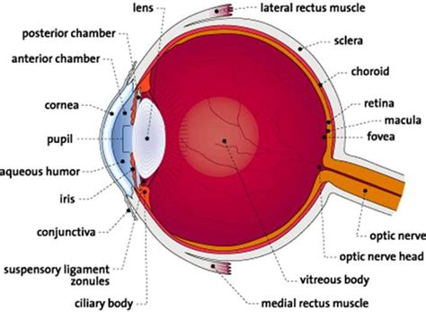 schematic section of the human eye this interactive eye diagram has pop up definitions for