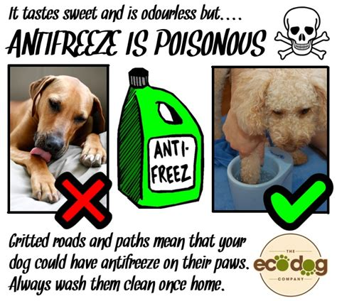 antifreeze poisoning dogs 19 best images about march 16 22 animal poison prevention week on