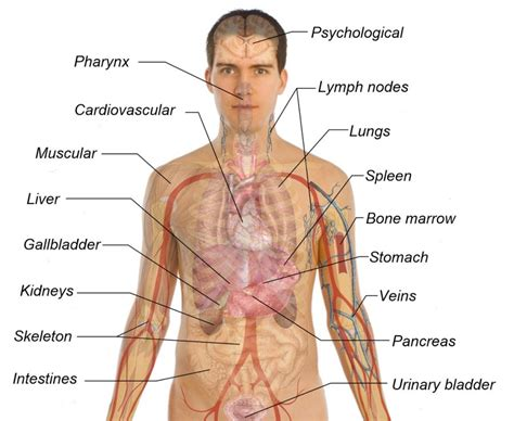 human body sections printable diagram of the human body diagram site