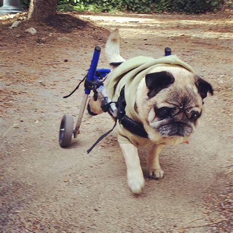 pug in a wheelchair my instalife recap week 1 25 2 1 in photos maegan