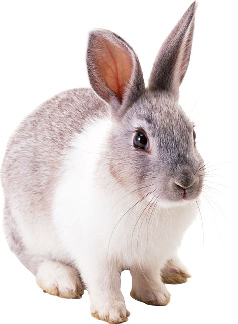 12 Md Rabbit Bery White rabbit png image