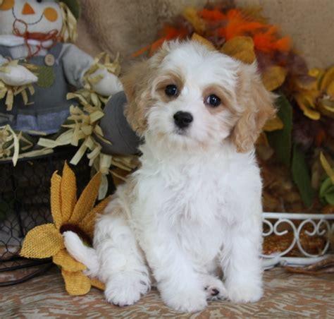cavachon puppy cavachon foxglove farm