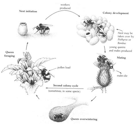 bumble bee diagram bumblebee cycle summary diagram from www bumblebee