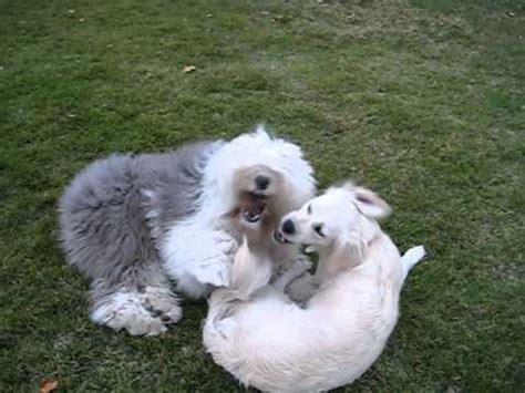 cocos grandes y peludos un perro peludo como mi petu youtube