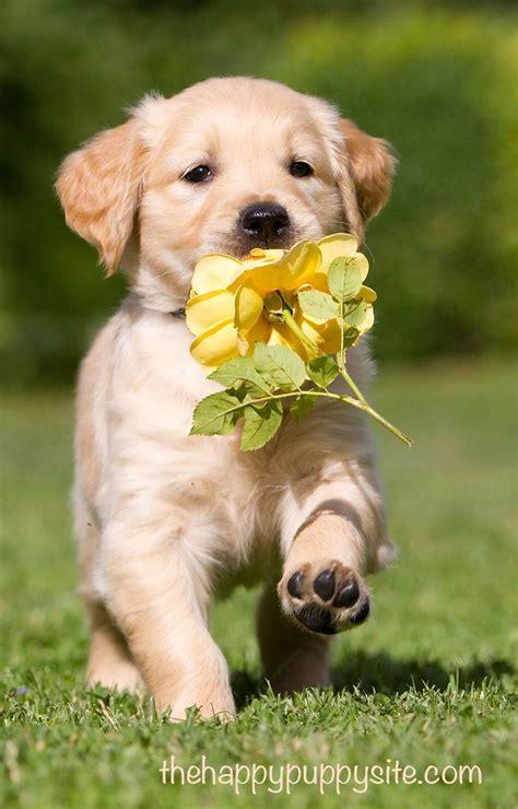 puppy find 331 best labrador puppies images on doggies lab puppies and labrador puppies
