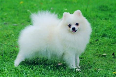 pomeranian hip problems top 6 teacup breeds how to choose the right for you