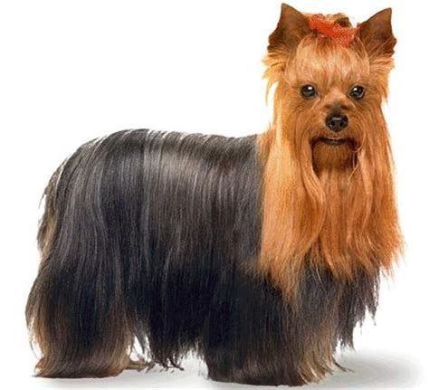 how is a yorkies span what is the yorkie lifespan me and my pet