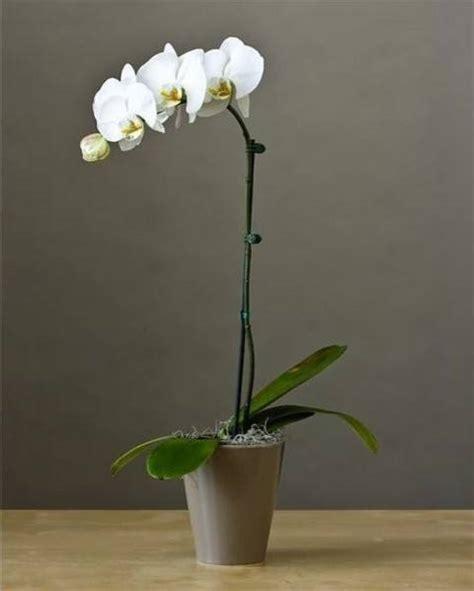 come potare le orchidee in vaso phalaenopsis potatura potatura