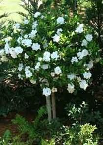 Gardenia Uf Best 25 Gardenia Bush Ideas On Gardenias