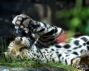 Jaguars Paw Jaguar Paw By Catseyephotography On Deviantart