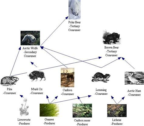ecosystem food web diagram 51 best images about biology project on arctic