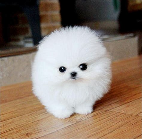 fluffy puppys pomeranian puppies for adoption white puppy like a fluffy white puppy