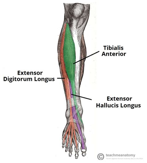 Anterior Section by Muscles Of The Anterior Leg Attachments Actions