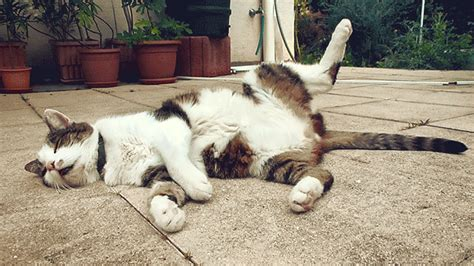 sleeping cat  gif