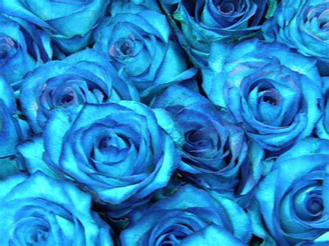 imagenes de rosas azules con movimiento imagenes de rosas azules con movimiento imagui