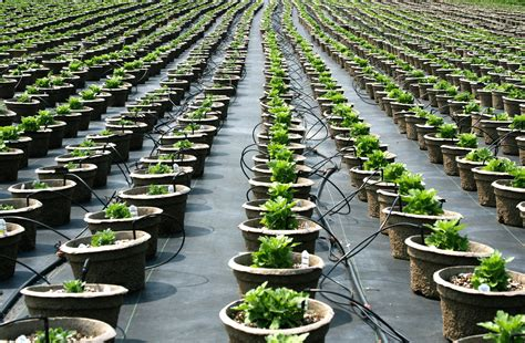 file plant nursery pot rows jpg wikimedia commons