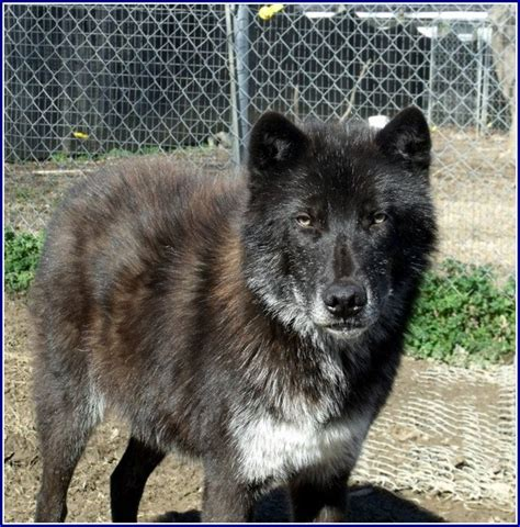 black wolf hybrid puppies black wolf hybrid dogs pet photos gallery 0wkd0vokqd