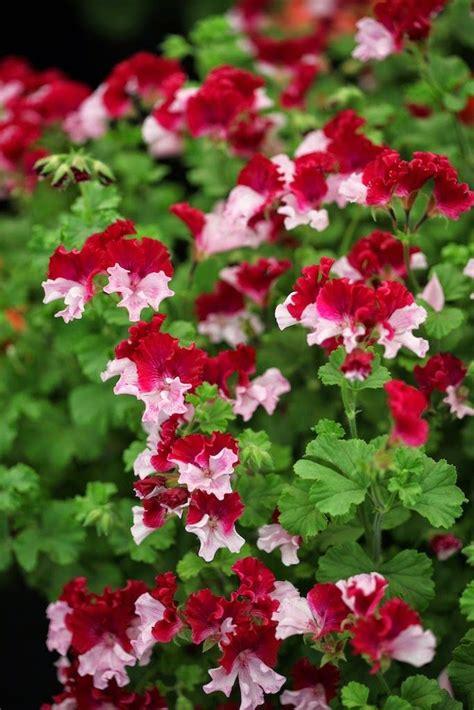 125 best images about geraniums pelargoiums on pinterest