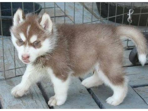 free puppies staten island magnificent siberian husky puppies for a new home staten island ny new york city