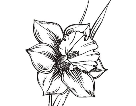 coloring pages daffodil flowers narcissus flower coloring page coloringcrew com