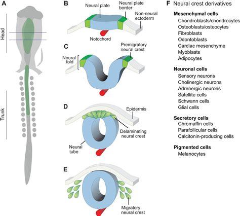 pattern formation of neural tube establishing neural crest identity a gene regulatory